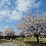 工場の隣の公園の桜